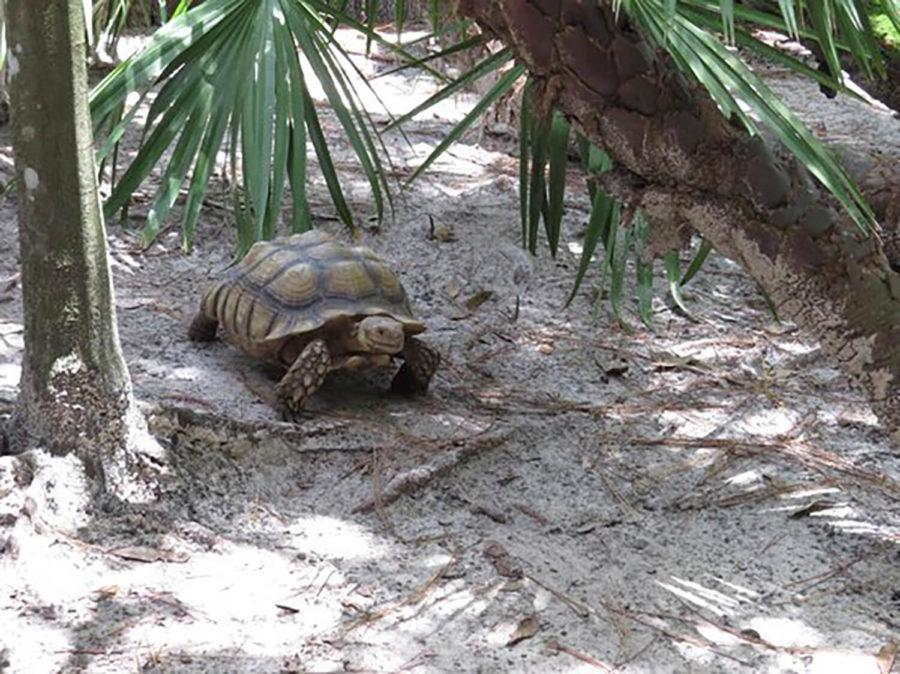 A gopher tortoise sits in its habitat at Calusa Nature Center and Planetarium. The gopher tortoise is notable for being a burrowing reptile, and is native to Southwest Florida. Special to Eagle News.