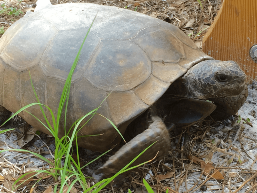The+gopher+tortoise%2C+which+is+listed+as+threatened+by+the+state+of+Florida%2C+is+considered+a+keystone+species+due+to+the+fact+that+they+share+their+habitats+with+more+than+350+other+species.+%28EN+Photo%2FKelli+Krebs%29