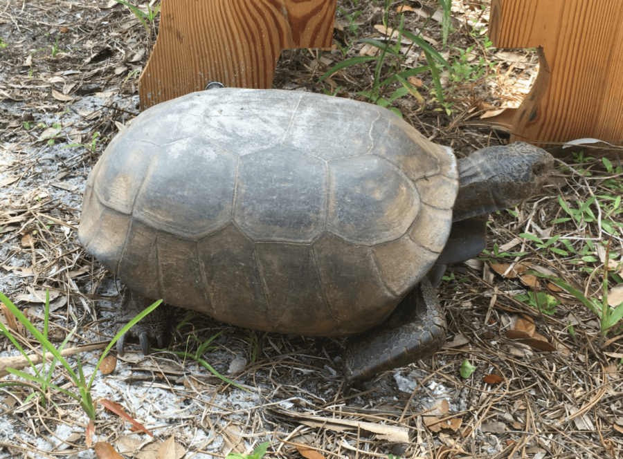The gopher tortoise, which is listed as threatened by the state of Florida, is considered a keystone species due to the fact that they share their habitats with more than 350 other species. (EN Photo/Kelli Krebs)