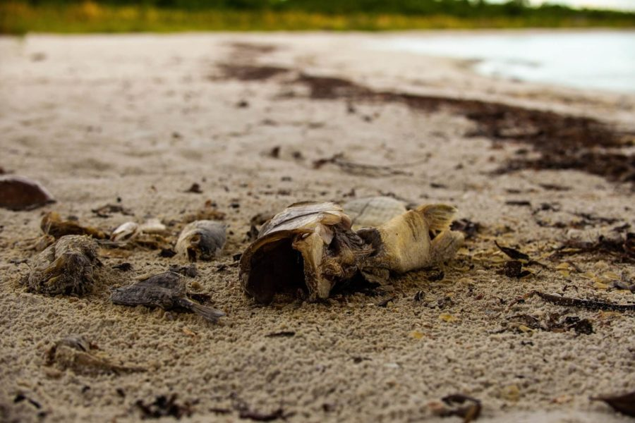 EN Photo by Bret Munson //  A dead fish lies on the shore at Lovers Key State Park in Fort Myers.
