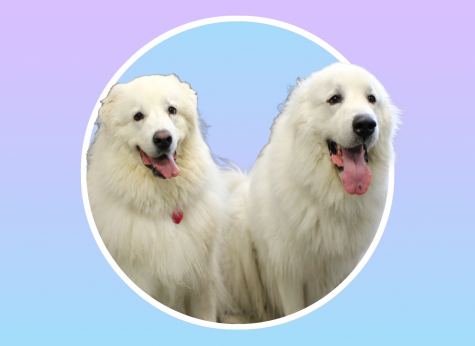 Meet Boomer and Tobin, the therapy dogs partnering with Prevention and Wellness